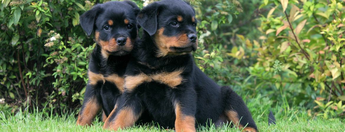 NDRC OF NSW INC  - The Northern Districts Rottweiler Club of NSW